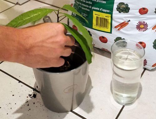 Kdaj avokado posaditi v zemljo?