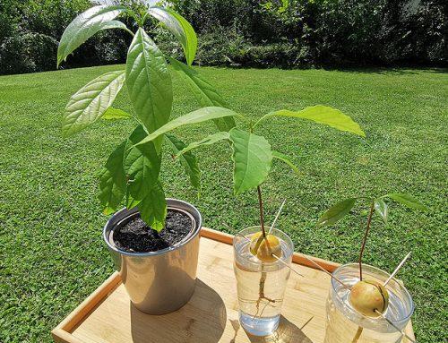 Kako vzgojiti svoj avokado?