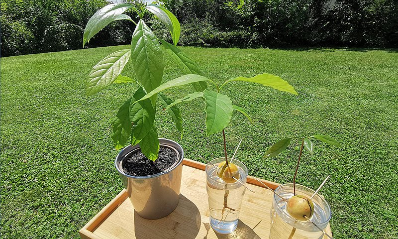 Vzgojiti avokado